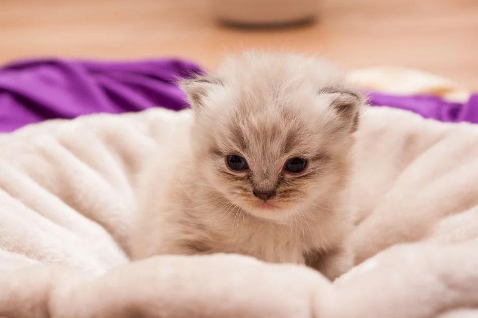 4 aspectos a tener en cuenta en los cuidados de un gato persa bebé