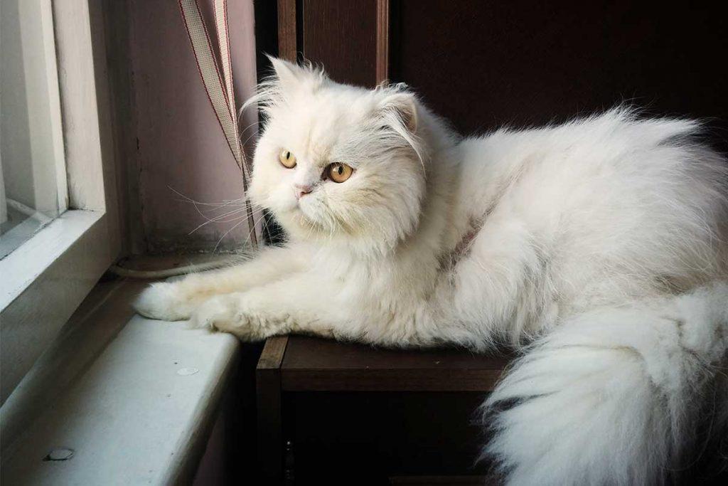 comprar un gato persa