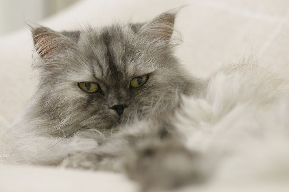 Beneficios de adoptar un gato persa