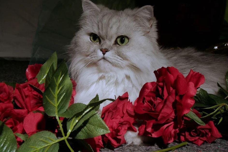 Cuánto vive un Gato Persa