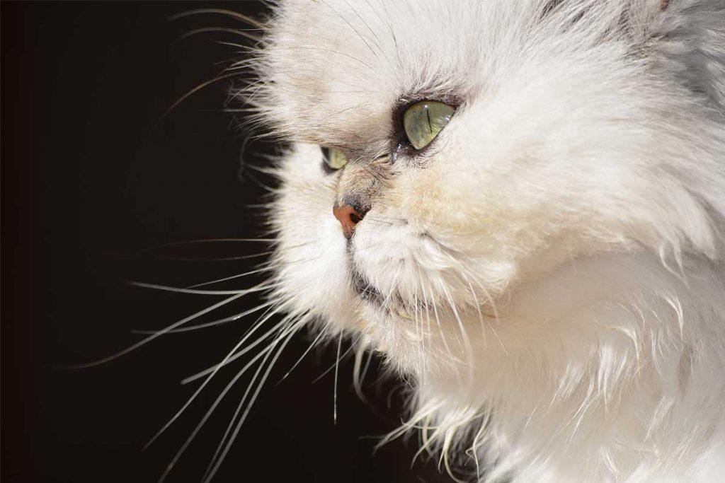 ojos gato persa