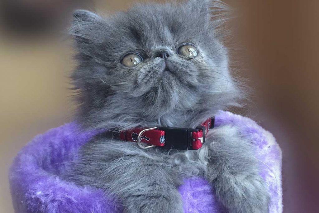 características del gato persa