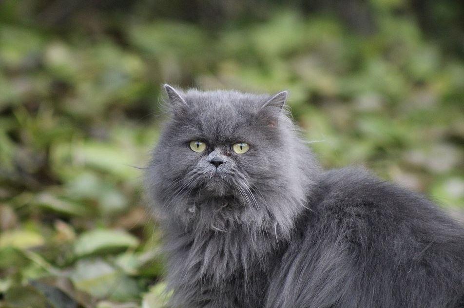 Factores que influyen en la esperanza de vida de un gato persa