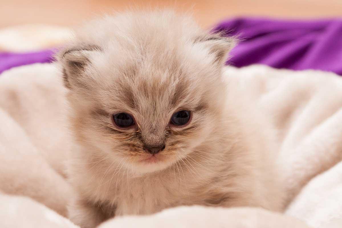 gato bebé persa