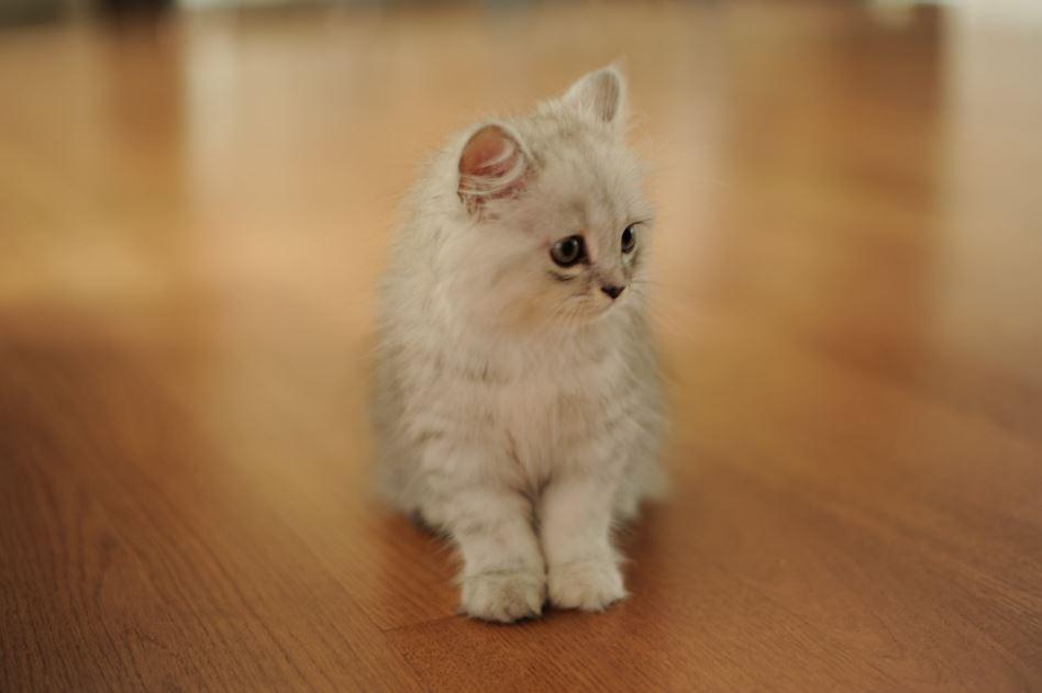 Guía para adoptar un gato persa Paso a paso