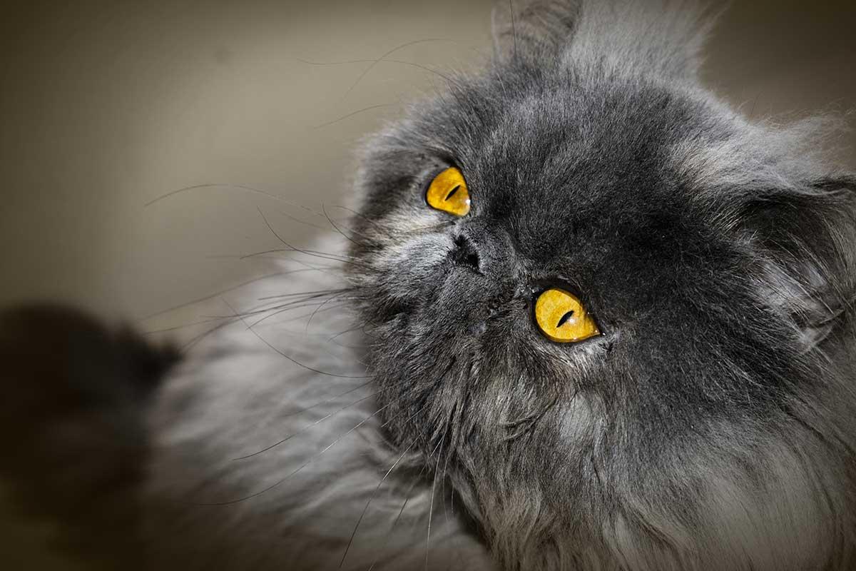 comidas para gatos persas