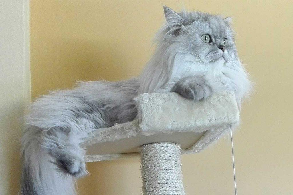 precio de los gatos persa