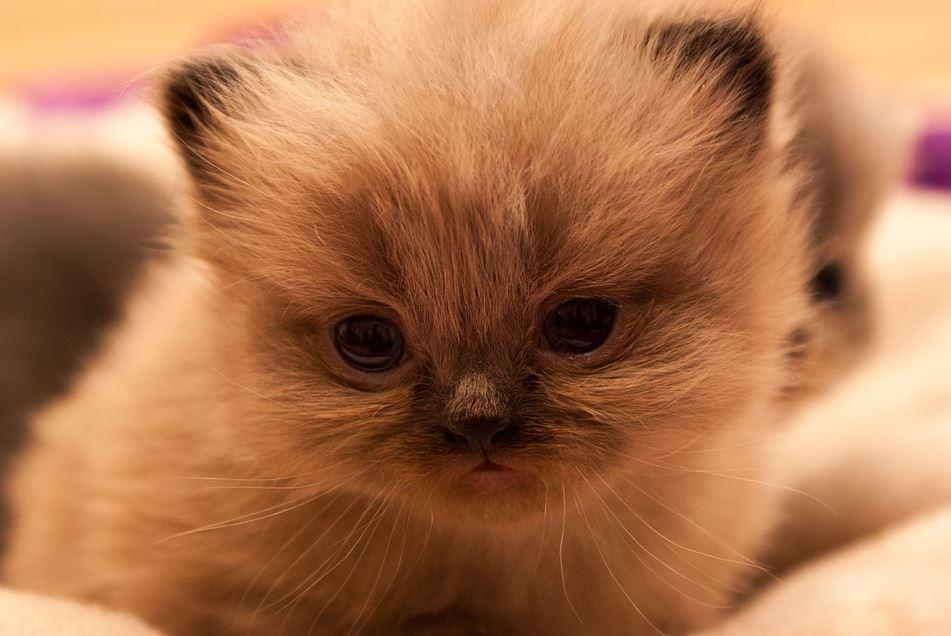 Precio del Gato Persa Costos de adopción