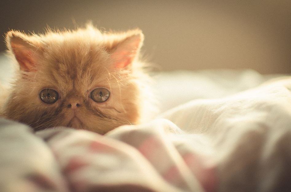 Precio del Gato Persa