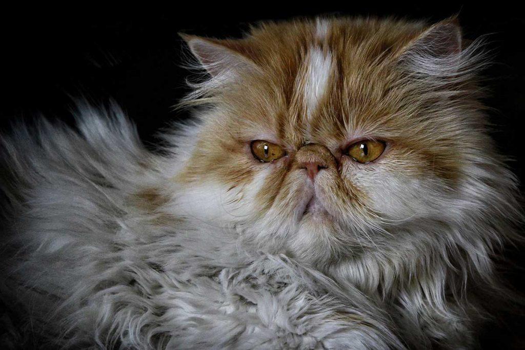 bolas de pelo en gatos persas