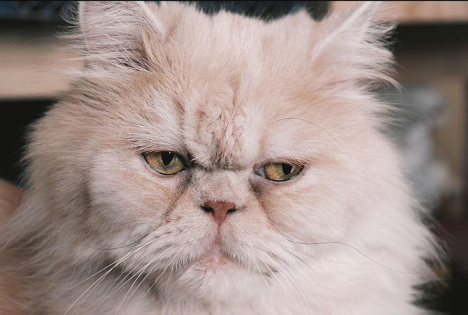 Qué es un gato persa