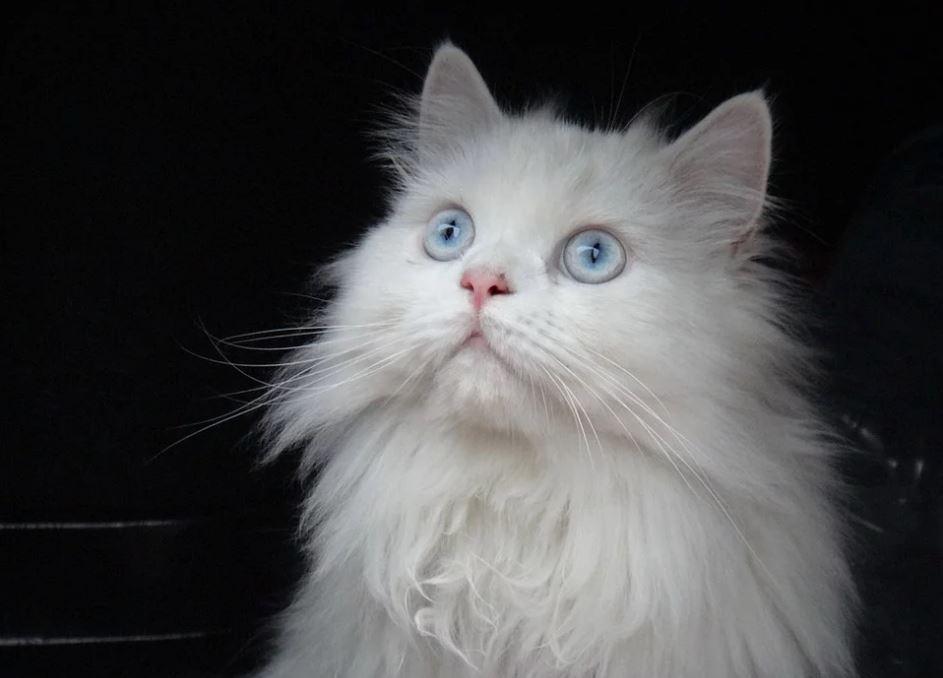 Recomendaciones para comprar un Gato Persa
