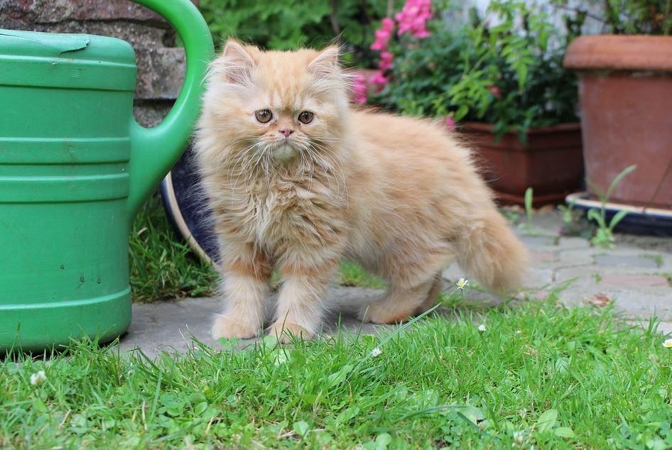 Salud del gato persa