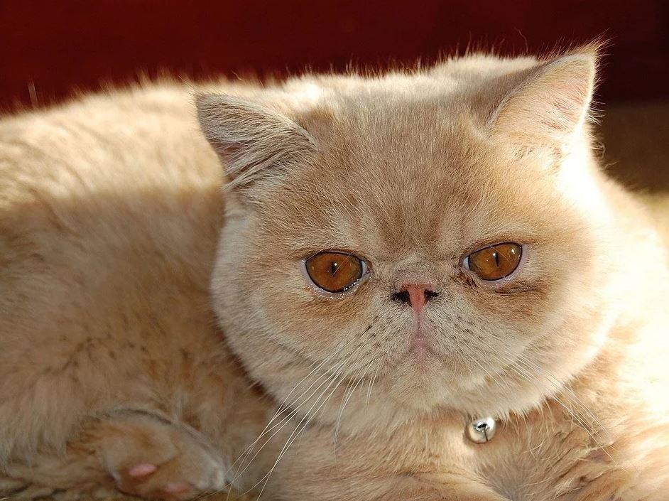 Tipos de Gato Persa
