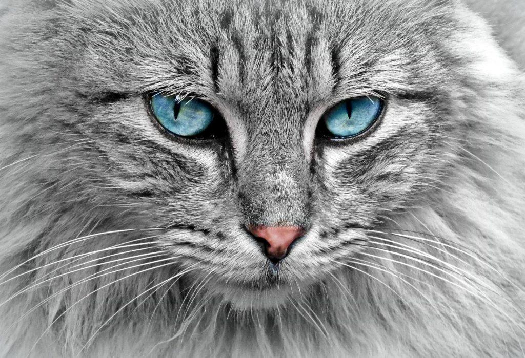 Tips para que tu gato persa este hermoso