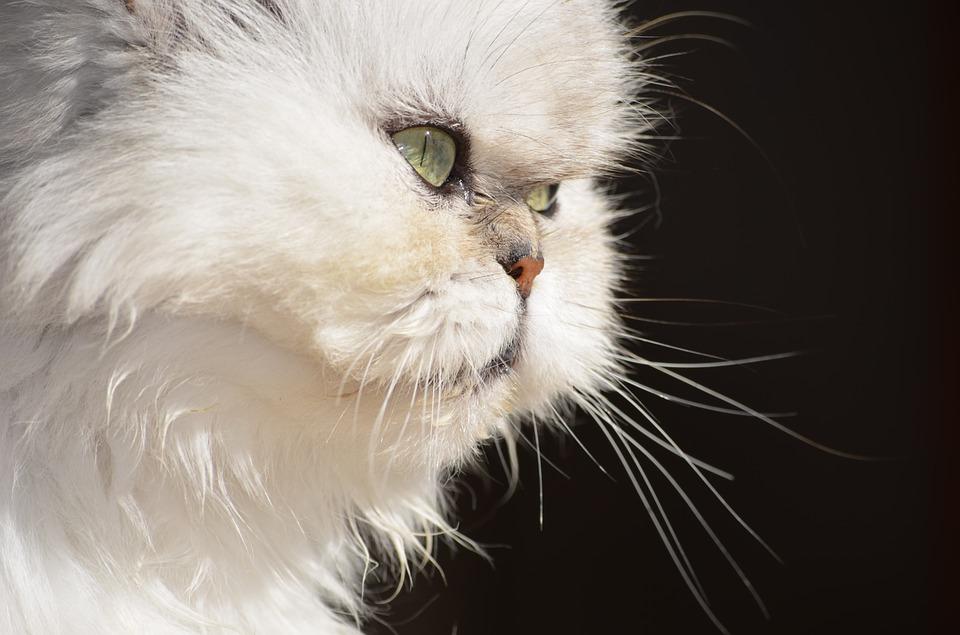 Dieta y nutrición para nuestro gato persa.