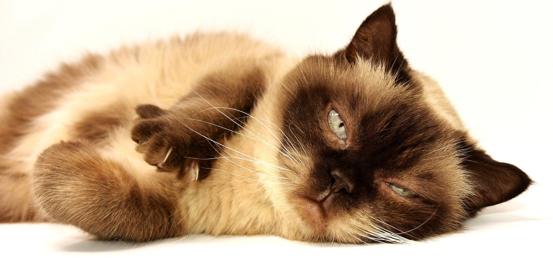 Que es otitis en gato
