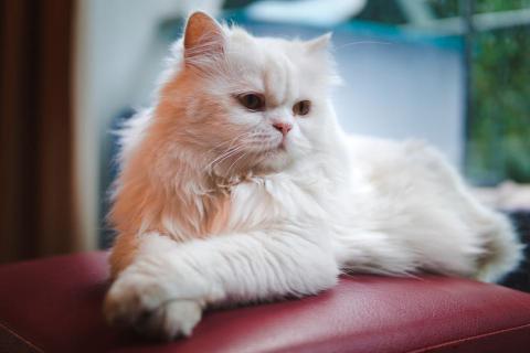 Las diferencias entre los gatos angora y gatos persas
