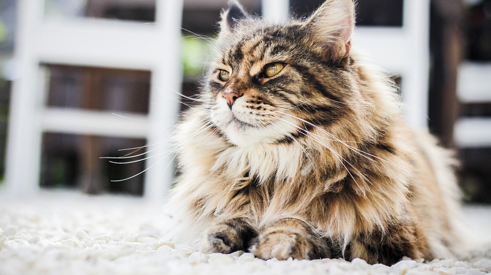 Remedios caseros para tu gato persa.