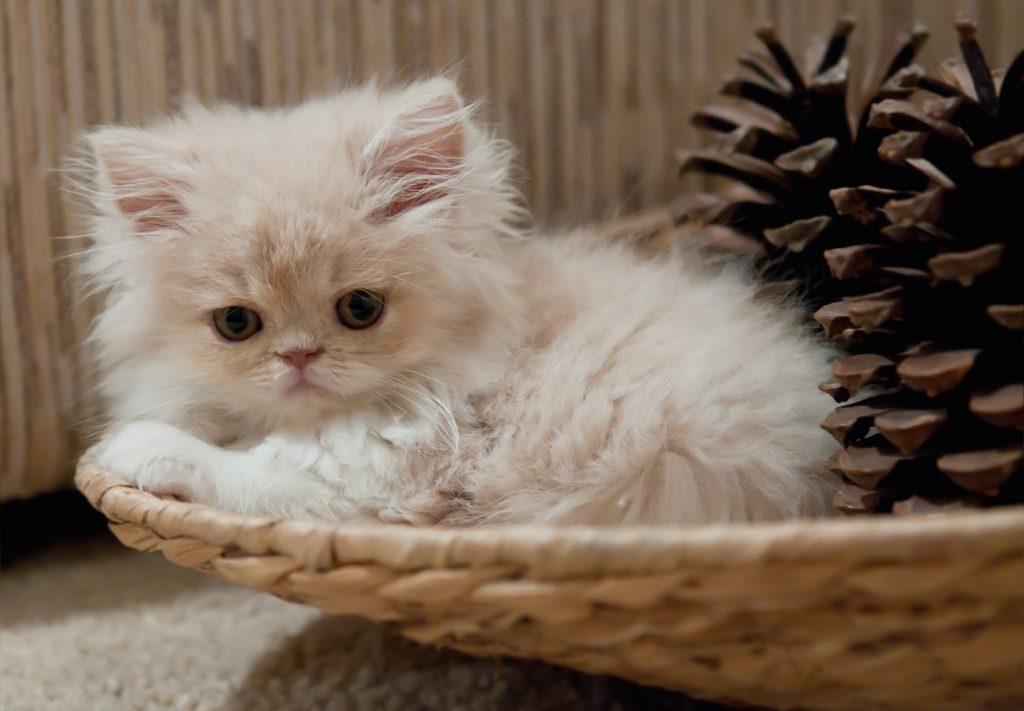 Cómo hacer ejercicio y jugar con un gato persa